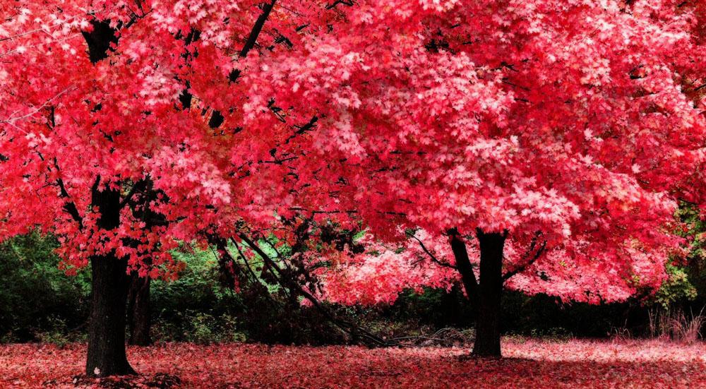 壁纸 枫叶 红枫 树 1000_551图片